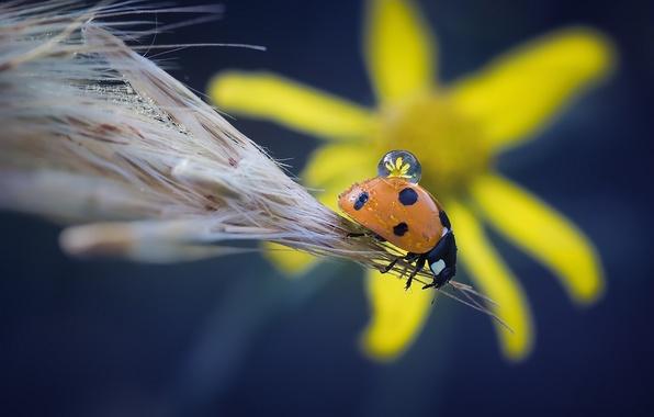 Картинка цветок, макро, капля, божья коровка, жук, насекомое, колосок
