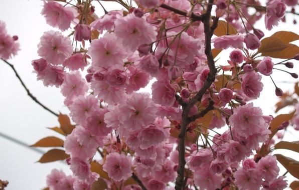 Картинка небо, макро, цветы, дерево, ветви, нежность, весна, лепестки, сакура, розовые