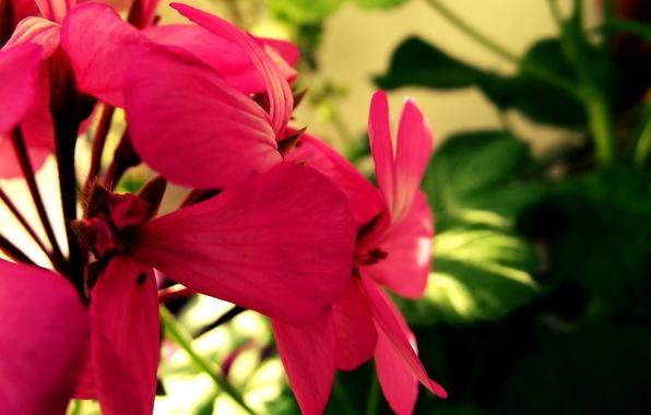 ... свет, яркие, розовый, роза обои (фото: goodfon.ru/wallpaper/zelenyy-cvety-roza-fokus-7641.html