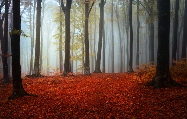 Картинка осень, лес, деревья, туман, листва