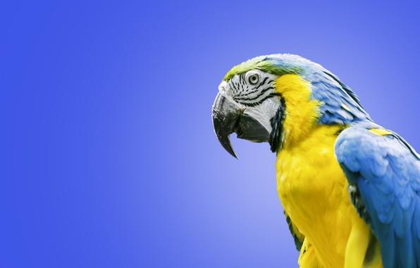 Картинка птица, попугай, ара, Сине-жёлтый ара
