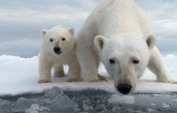 Картинка лед, вода, снег, океан, медведь, медвежонок, белый медведь, медведица