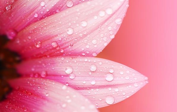 Картинка цветок, вода, капли, макро, цветы, роса, фон, розовый, обои, размытие, лепестки, wallpaper, flower, широкоформатные, background, ...