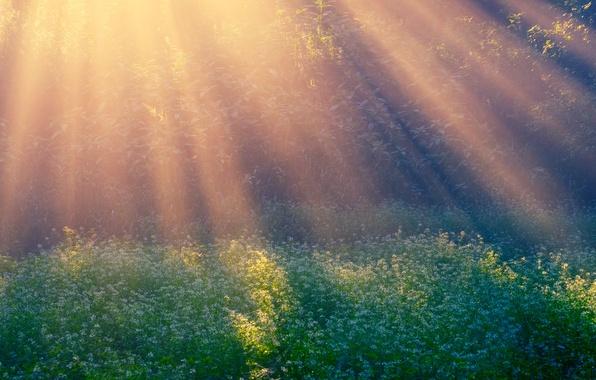 Картинка лучи, поляна, утро, Morning Sun