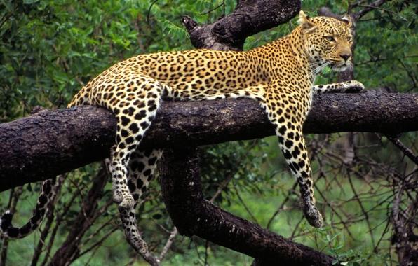 Картинка природа, дерево, животное, хищник, лапы, леопард, лежит, окрас
