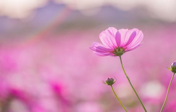 Картинка поле, цветок, макро, розовый, фокус, лепестки, размытость, Космея
