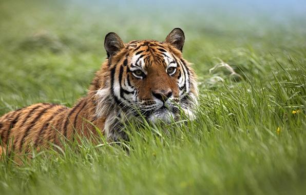 Картинка поле, трава, степь, поля, хищники, засада, ловушка, дикие кошки, ожидание, тигры, тигрица, дикая природа, ловушки, ...
