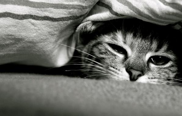 Картинка кот, взгляд, Кошка