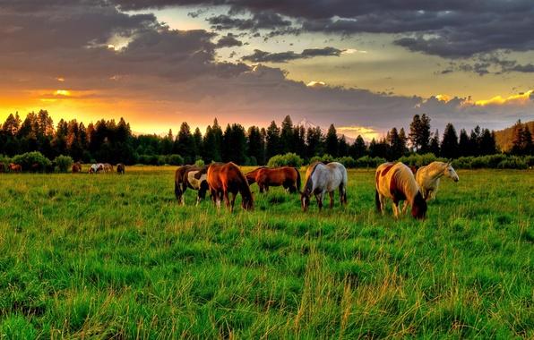 Картинка поле, лето, небо, облака, деревья, закат, восход, дерево, поляна, лошадь, кони, Природа, ель, лошади, луг