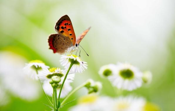 Картинка бабочки, цветы, крылья, боке