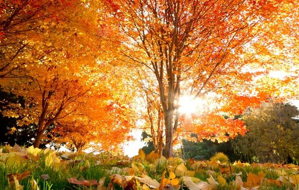 Картинка осень, листья, деревья, красивые, Autumn, кленовые