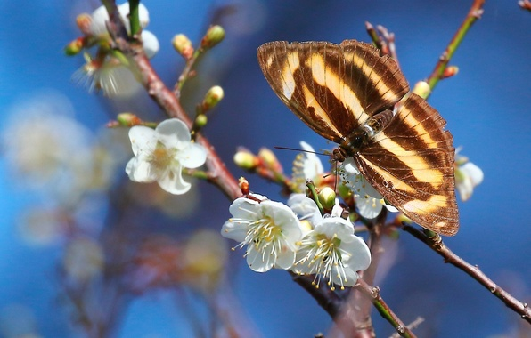 Картинка макро, ветки, бабочка, весна, цветение, цветки, слива