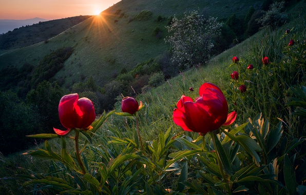 Картинка солнце, лучи, свет, цветы, весна, склон, Болгария, дикие пионы
