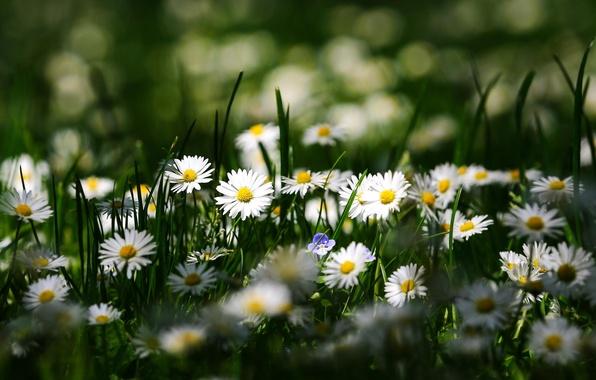 Картинка лето, макро, цветы, ромашки