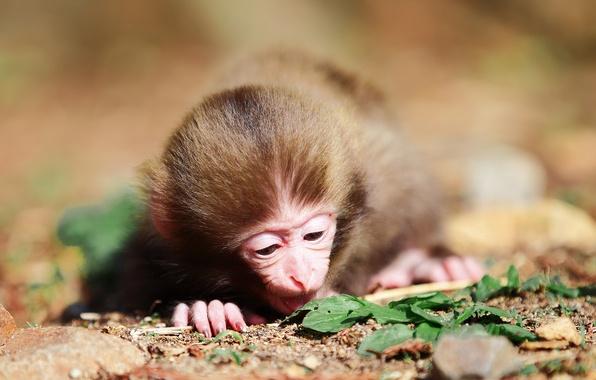 Картинка листва, шерсть, мордочка, обезьяна, пальцы, маленькая, макака