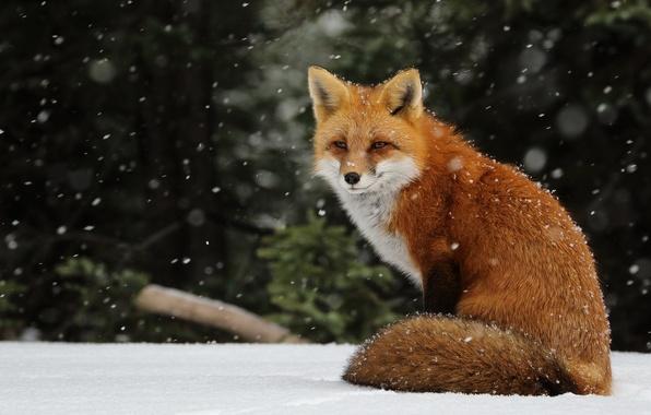 Картинка зима, снег, снежинки, лиса, рыжая, снегопад, лисица