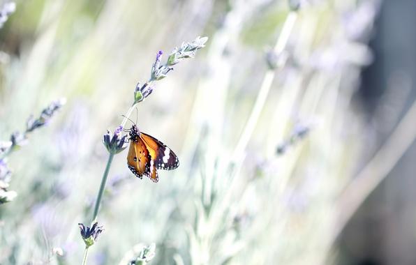 Картинка цветок, лето, макро, природа, бабочка, стебель, насекомое, лаванда, боке
