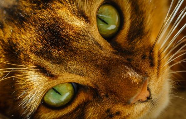 Картинка кошка, глаза, кот, усы, морда, нос, зеленые