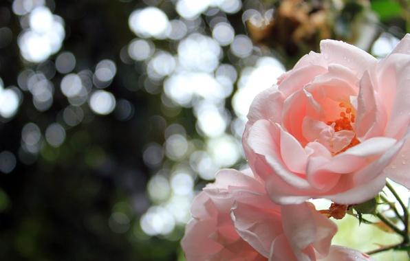 Картинка цветы, природа, розы, лепестки, nature, flowers, боке, bokeh, 2560x1600, petals, roses