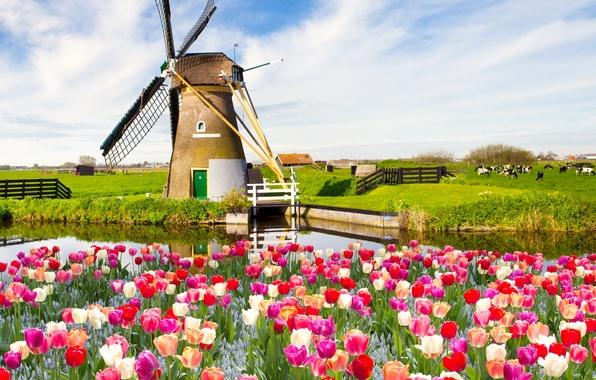 Картинка поле, небо, облака, пейзаж, цветы, природа, весна, тюльпаны