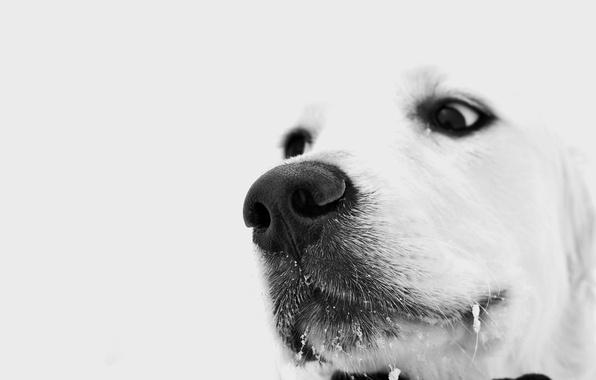 Картинка зима, белый, глаза, взгляд, собака, пес, задумчивый, грустный, снег на усах