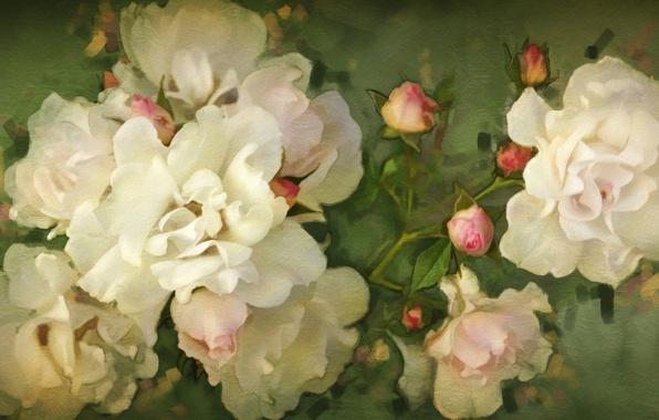 Картинка цветы, розы, белые, бутоны
