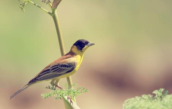 Картинка фон, обои, ветка, Птица, птичка, желтая, wallpapers, размытый