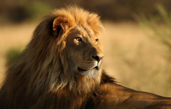 Картинка животные, саванна, дикие кошки, африка, львы, wild cats, lions, africa