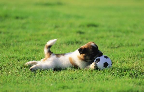 Картинка трава, газон, собака, щенок, мячик, играет