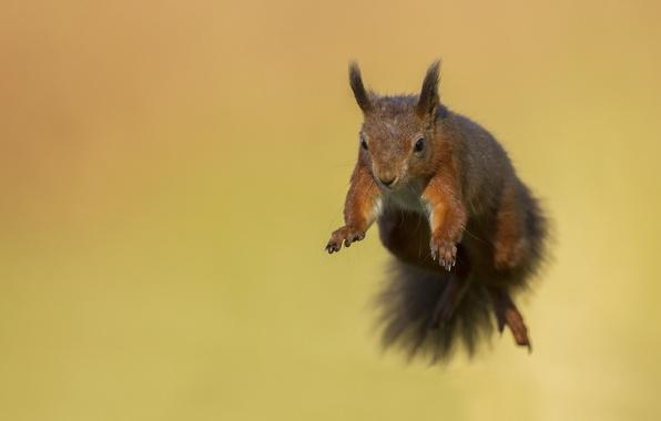 Картинка полет, прыжок, белка, мордочка, зверек, грызун