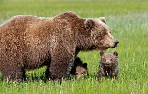 Картинка трава, медвежата, медведица