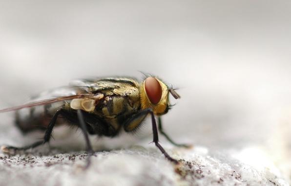 Картинка муха, макросъемка
