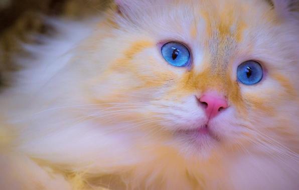 Картинка кошка, мордочка, котёнок, голубые глаза