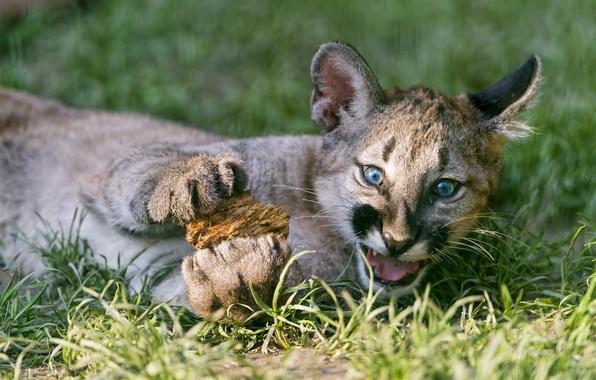 Картинка кошка, трава, детёныш, котёнок, пума, горный лев, кугуар, ©Tambako The Jaguar