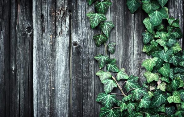 Картинка листья, забор, растение, Доски, текстуры, деревянные