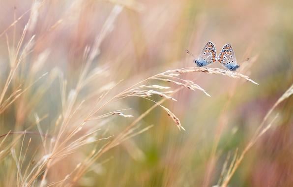 Фото обои поле, макро, две, размытость, Бабочки, колосья