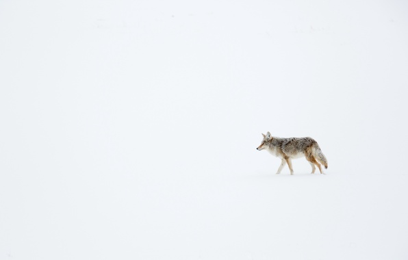 Картинка зима, снег, койот, луговой волк