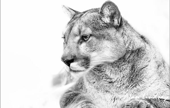 Картинка ч/б, белый фон, пума, горный лев, кагуар, черно белый снимок