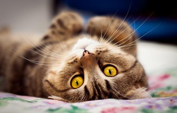 Картинка взгляд, Кот, мордочка, лежит, на спине