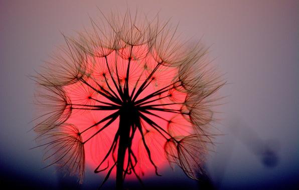 Картинка цветок, солнце, макро, закат, одуванчик, былинка