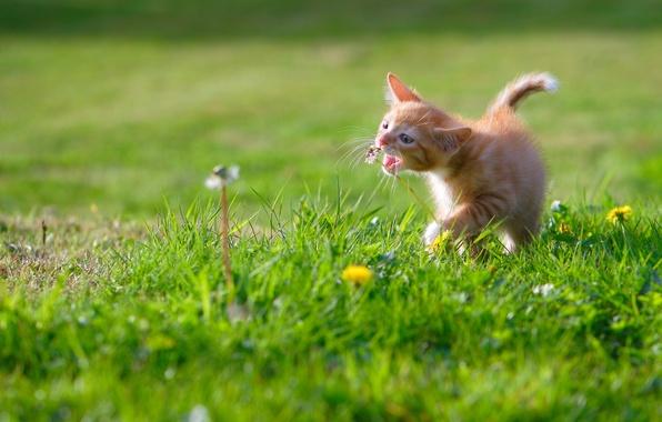 Картинка малыш, луг, котёнок, одуванчики, рыжий котёнок