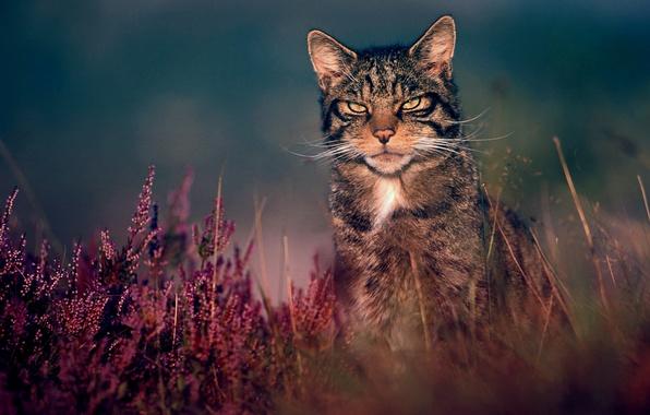 Картинка трава, природа, лесной кот, дикий кот