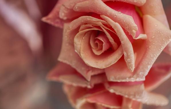 Картинка капли, макро, отражение, роза, лепестки, бутон