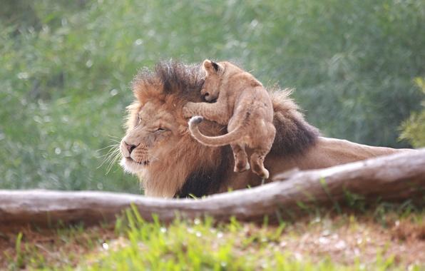 Картинка морда, прыжок, игра, лев, семья, отец, пара, дикие кошки, львы, детеныш, львенок, гримаса