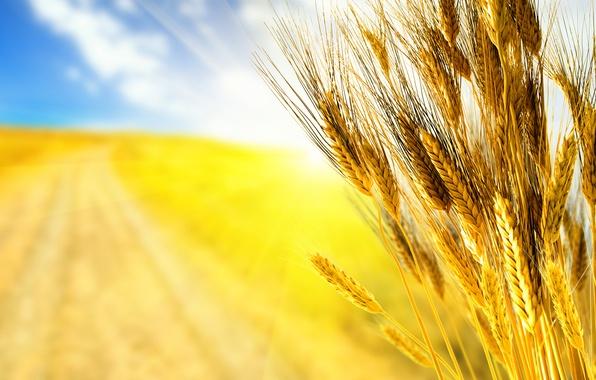 Картинка дорога, пшеница, поле, осень, небо, трава, макро, лучи, свет, желтый, природа, зерно, поля, зерна, фокус, …
