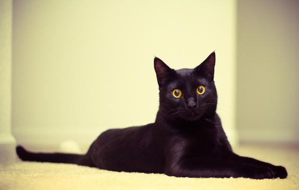 Картинка кошка, глаза, кот, обои, черный, лежит, смотрит, котэ, 2560x1600