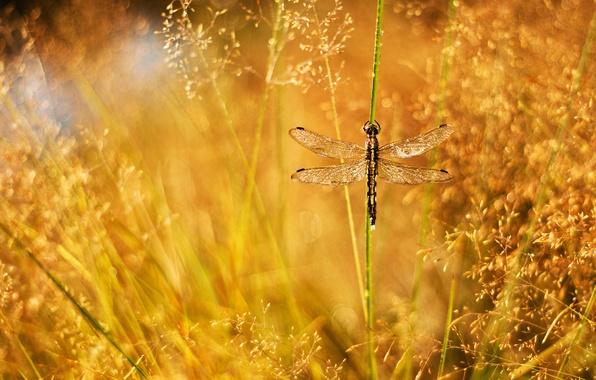 Картинка трава, капли, роса, блики, стрекоза, травинка, метелки