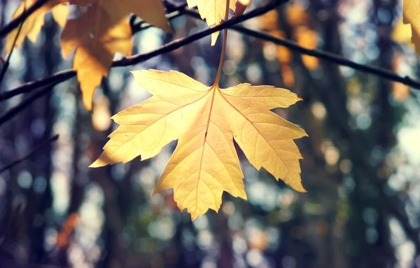 Картинка осень, макро, ветки, природа, лист, кленовый