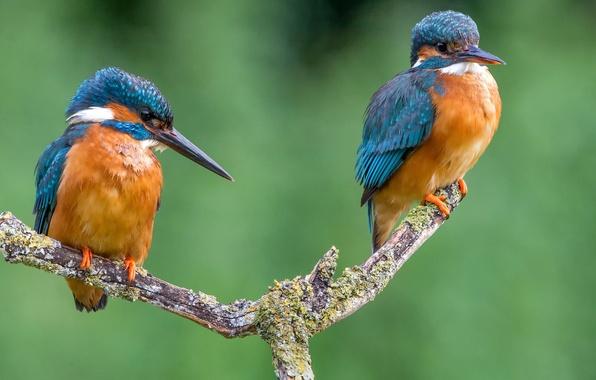 Фото обои птица, цвет, ветка, перья, клюв, пара, зимородок, kingfisher