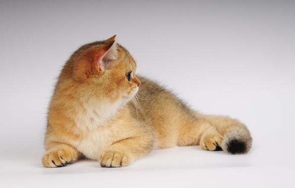 Картинка кошка, фото, неко, ушки